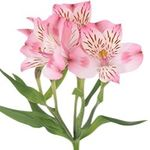 Alstroemeria - flowers and bouquets on flora.od.ua