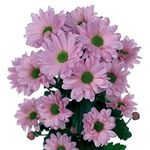 Chrysanthemums - flowers and bouquets on flora.od.ua