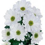 Ромашки - цветы и букеты на flora.od.ua