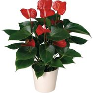 """Anthurium"" in the online flower shop flora.od.ua"