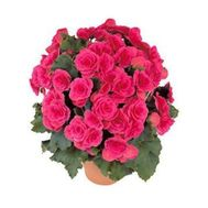 """Begonia"" in the online flower shop flora.od.ua"