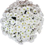 """Bouquet of 25 chamomile chrysanthemums"" in the online flower shop flora.od.ua"