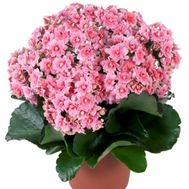 """Kalanchoe"" in the online flower shop flora.od.ua"