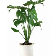 """Monstera"" in the online flower shop flora.od.ua"