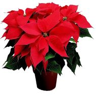 """Poinsettia"" in the online flower shop flora.od.ua"
