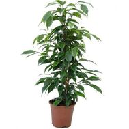 """Ficus"" in the online flower shop flora.od.ua"