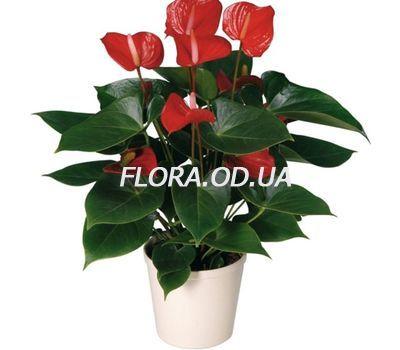 """Anthurium"" in the online flower shop flora.od.ua"