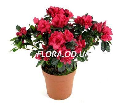 """""""Азалия"""" в интернет-магазине цветов flora.od.ua"""