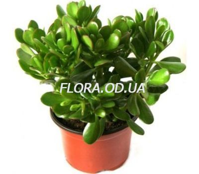 """Money Tree"" in the online flower shop flora.od.ua"