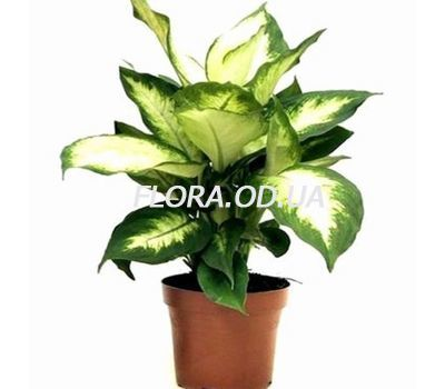 """Dieffenbachia"" in the online flower shop flora.od.ua"