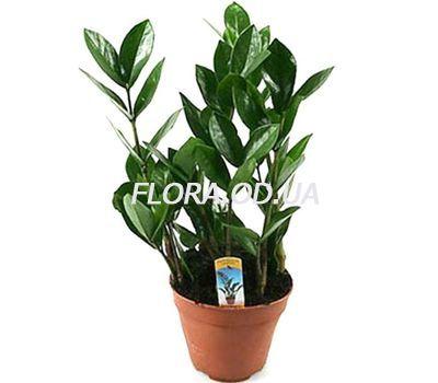 """""""Долларовое дерево"""" в интернет-магазине цветов flora.od.ua"""