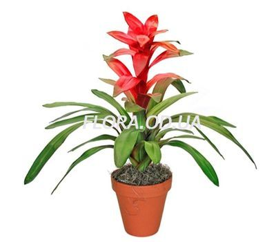 """Guzmania"" in the online flower shop flora.od.ua"