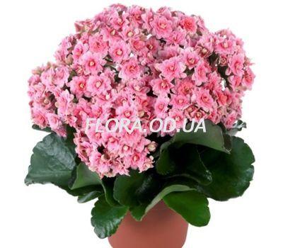 """""""Каланхое"""" в интернет-магазине цветов flora.od.ua"""