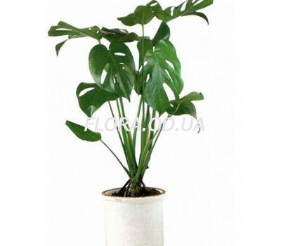 """Monstera"" in the online flower shop flora.od.ua"