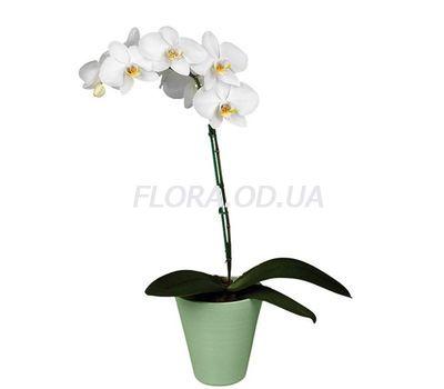 """""""Орхидея Фаленопсис белая"""" в интернет-магазине цветов flora.od.ua"""