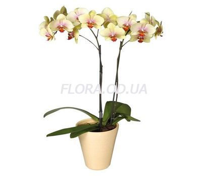 """""""Phalaenopsis Yellow Orchid"""" in the online flower shop flora.od.ua"""